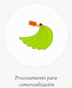 Siembra del banano