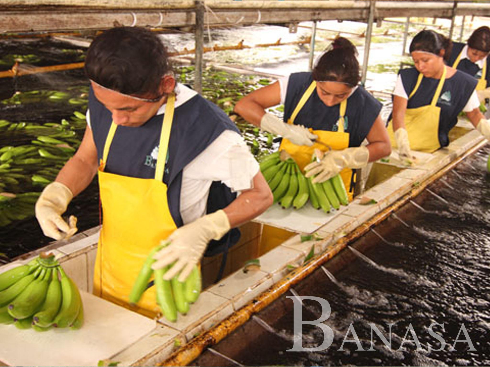BANASA FUE CALIFICADA POR EL MINISTERIO DE AGRICULTURA COMO LA EMPRESA BANANERA CON MEJORES PRÁCTICAS DE INOCUIDAD Y MANEJO DE ALIMENTOS.